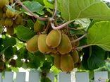 ارزآوری 82 میلیون دلاری صادرات کیوی ایران