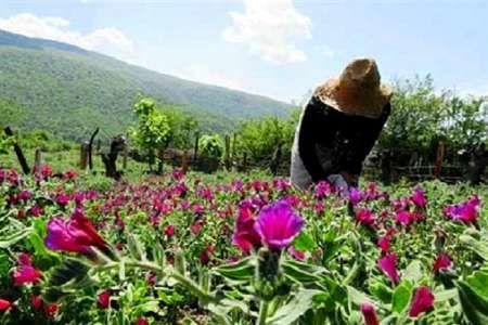 سالانه 45 تن انواع گیاهان دارویی در قزوین تولید می شود