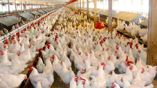 خرید 390 تن مرغ زنده در همدان