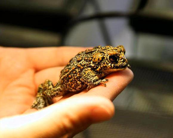 کشف 3 گونه جدید وزغ در ایالت نوادای آمریکا
