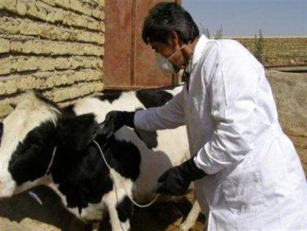 ابتلا ۱۱۰۰ رأس دام استان زنجان به تب برفکی
