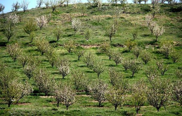 کسب رتبه برتر کردستان در احداث باغات دیم