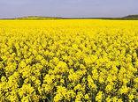 انعقاد اولین قرارداد خرید توافقی کلزا در قالب کشاورزی قراردادی در شهرستان ویژه مرند