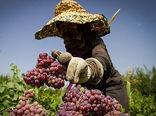 تولید 6.6 میلیون  تن محصول کشاورزی در آذربایجان غربی