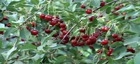 آغاز برداشت آلبالو از ۲۵ هکتار باغهای بارور شهرستان گلپایگان