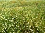 آغاز برداشت گیاه دارویی بابونه در کازرون