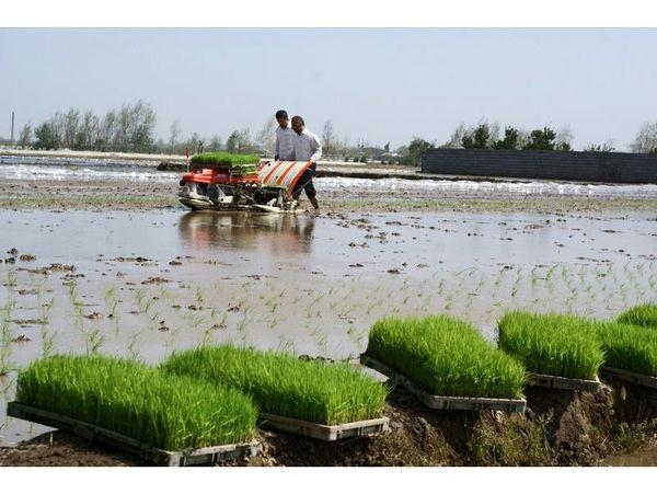 کشت برنج در 50 درصد شالیزارهای بابل/ کشت مکانیزه 3500 هکتاری
