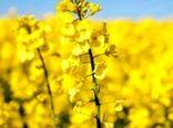 کسب رتبه سوم تولید دانه روغنی کلزا در کشور
