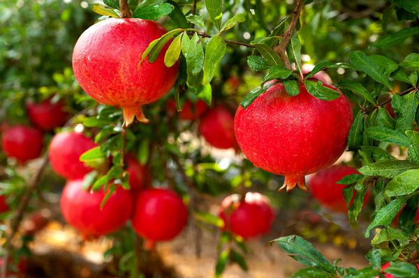 برداشت بیش از 7000 تن محصول انار از باغات  استان آذربایجان شرقی