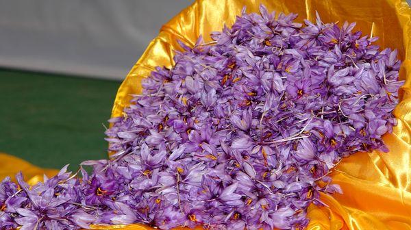 خراسان جنوبی دارای رتبه دوم تولید زعفران