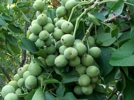 افزایش 20 درصدی تولید گردو در کرمان
