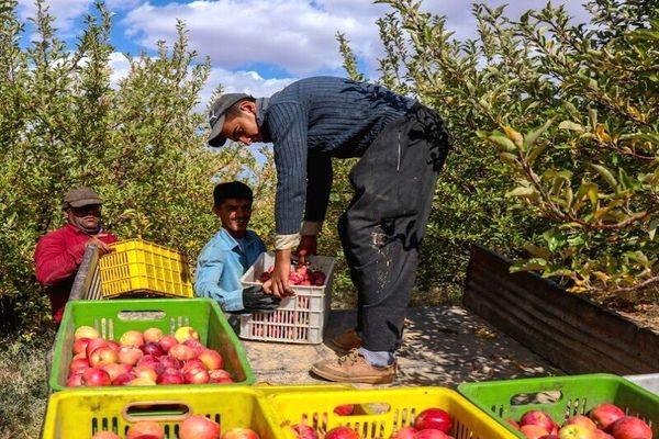 شرکت تعاونی سیب درختی، حلقه مفقوده کشاورزی سمیرم