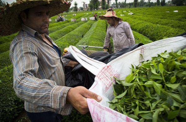 صادرات چای با مجوز وزارت کشاورزی بلامانع شد
