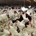 توصیههای سازمان دامپزشکی برای پیشگیری از آنفولانزای فوق حاد پرندگان