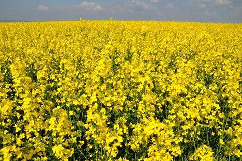 افزایش چهار برابری برداشت کلزا از مزارع چهارمحال و بختیاری