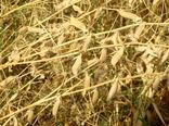 توسعه کاشت خلر و ماشک ضروری است