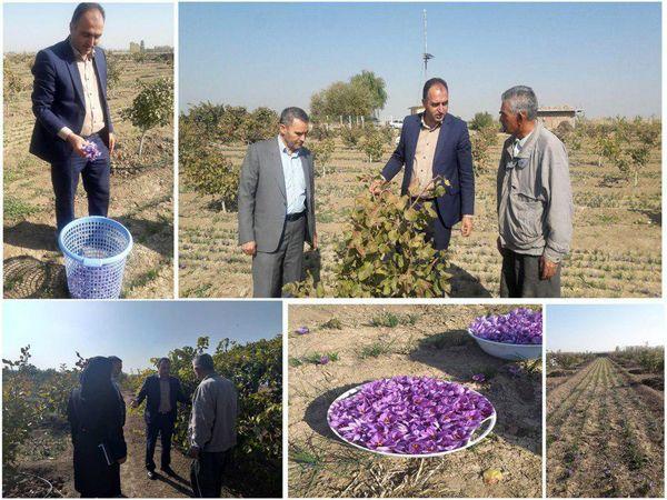 برداشت 22.5 کیلو زعفران از مزارع شهرستان میاندوآب