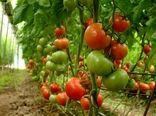 بوته گوجه فرنگی گلخانه ای