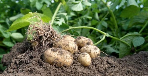 سیبزمینی تولیدی چهارمحال و بختیاری فاقد نیترات است
