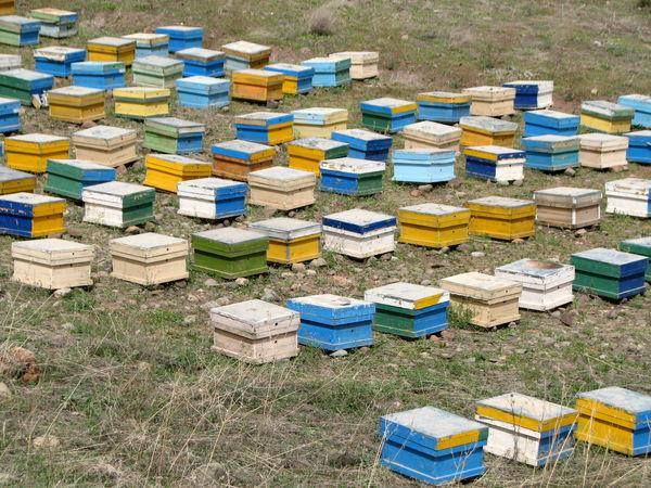 سالانه 900 تن عسل در استان قزوین تولید می شود