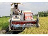 برداشت برنج در 67 هزار هکتار از شالیزارهای مازندران