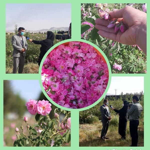 برداشت مزارع گل محمدی شهرستان ایلام آغاز گردید.