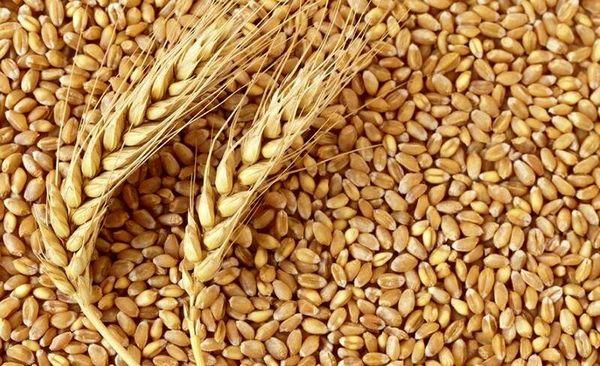 خرید بیش از ۲۷۵ هزار تن گندم در آذربایجان شرقی
