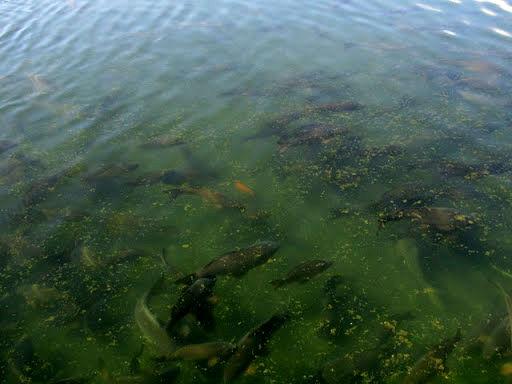 آغاز توزیع ماهی تیلاپیا در خراسان جنوبی