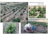 سایت الگویی گیاهان دارویی در شهرستان ملکشاهی ایجاد شد