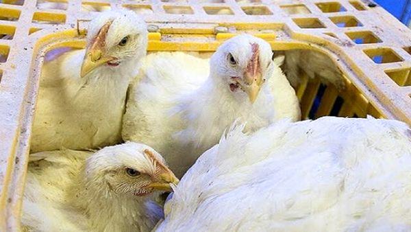 تشدید نظارت بر حمل و بارگیری مرغ