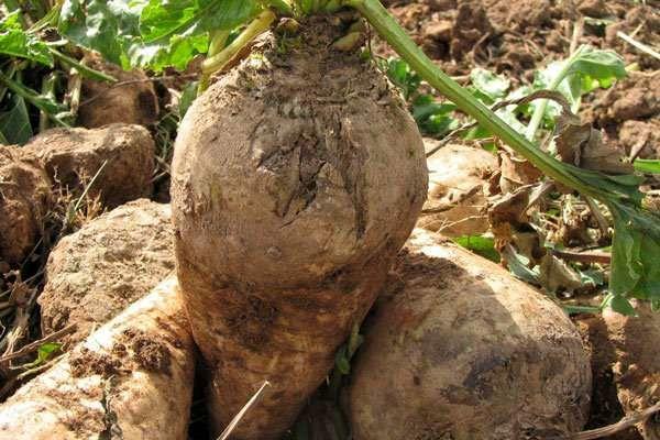 کشت ۷۰۰ هکتاری محصول چغندر قند درخراسان جنوبی