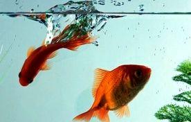 الزامات و توصیه های بهداشتی خرید و نگهداری ماهی قرمز