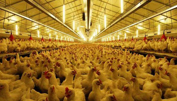 فعالسازی مرغداری راکد در شهرکرد پس از 6 سال
