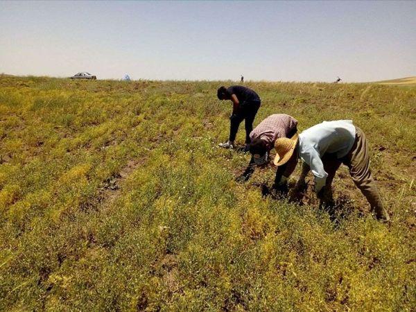 تولید نزدیک به 500 تن حبوبات در سپیدان