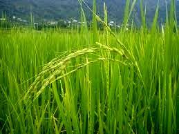 ظهور اولین خوشه طلایی برنج در شهرستان شفت