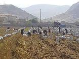 برداشت سیب زمینی کشت پائیزه از اوایل خرداد ماه  در شهرستان خرم آباد آغاز شد