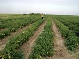 کشت 10هزار هکتار از مزارع کشاورزی قزوین به محصولات سبزی،صیفی و جالیزی