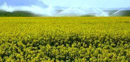 اختصاص 2000 هکتار از اراضی کشاورزی استان به کشت چغندرقند بهاره