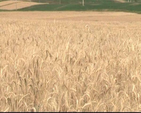آغاز برداشت گندم از مزارع بوئین میاندشت