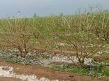 تگرگ ۳۷۸ میلیارد ریال خسارت به باغات سامان وارد کرد