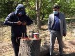 تعویض تاج درختان گردو در سطح 10 هکتار در شهرستان مراغه