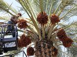 خرید توافقی خرما در خوزستان بزودی آغاز میشود
