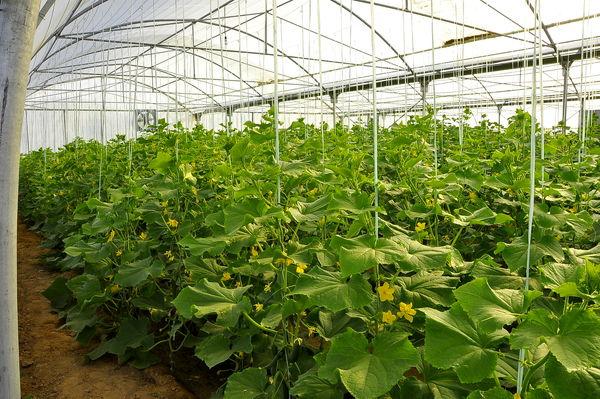 توسعه گلخانه های شهرستان کرمان در دستور کار جهاد کشاورزی شهرستان کرمان