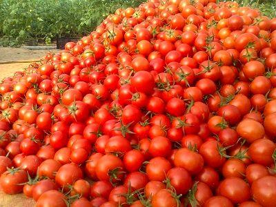 برداشت 380 هزار تن محصول گوجه فرنگی از مزارع استان بوشهر