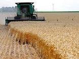 تولید گندم در شیروان افزایش یافت