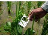 مبارزه بیولوژیک با ساقه خوار برنج در 2800 هکتار شالیزار جویبار