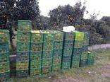 700 تن پرتقال تامسون در راه سردخانههای باغدارن