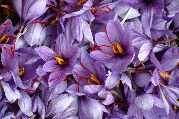 خرید توافقی 2.5 تن زعفران از کشاورزان خراسان جنوبی