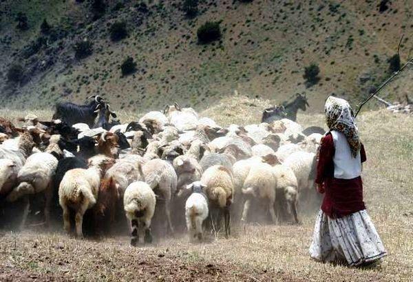 هدف گذاری برای خرید 50 هزار راس دام مازاد برنیاز عشایر آذربایجان شرقی