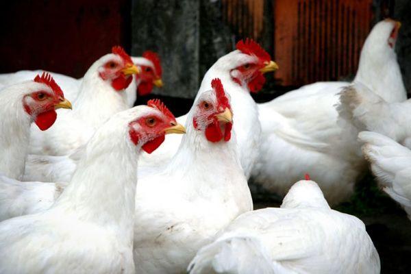 هیچ تزریق هورمونی در مرغداریها صورت نمیگیرد